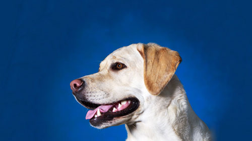 Dog-with-Blue-Backgroundl
